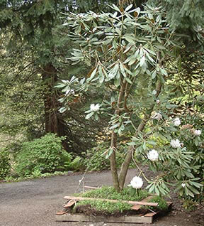 Moving Large Rhododendron at RSF