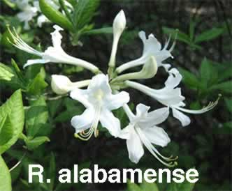 Hennings rhododendron azalea pages r alabamense mightylinksfo Images