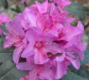 Henning S Rhododendron Azalea Pages