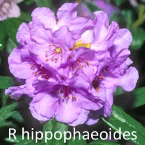 R hippophaeoides