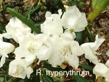R hyperythrum